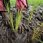 Indonesia: why food self-sufficiency is different from food security