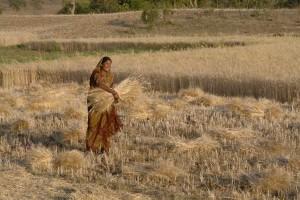 Woman_harvesting_wheat,_Raisen_district,_Madhya_Pradesh,_India