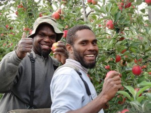 Gilbert Massi (lt) and Michel Ulas (rt)from Vanuatu picking apples at Vernview, Victoria. They are making a positive contribution to the industry as part of the Seasonal Worker Program. Photo source: David and Sue Finger, Vernview.