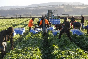 Ni Vanuatuans picking Cos lettuce in eastern Victoria. Photo: ABC/Tim Lee.