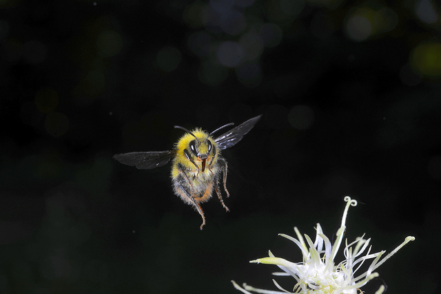 Bumblebee in flight (image: Flickr/Andres Morya)