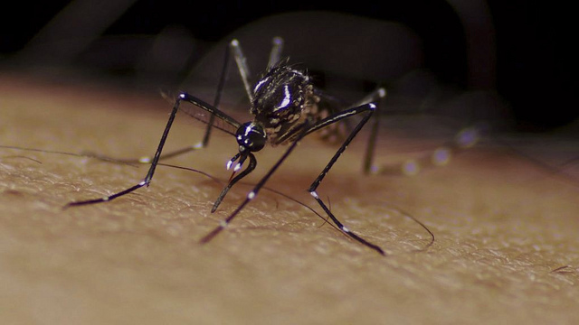 Aedes aegypti mosquito (Flickr/Sanofi Pasteur, May 2011)