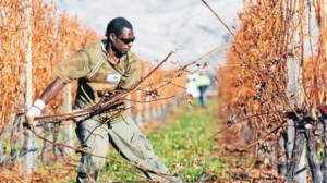 A ni-Vanuatu seasonal worker in New Zealand. Source: Marlborough Times