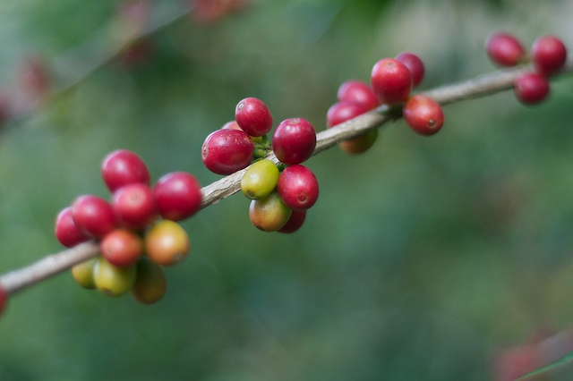 Coffee plant (Flickr/Paul Goodman CC BY-NC-ND 2.0)