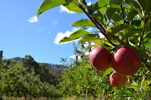 Apple orchard in Tasmania (Flickr/Apple and Pear Australia Ltd CC BY 2.0)