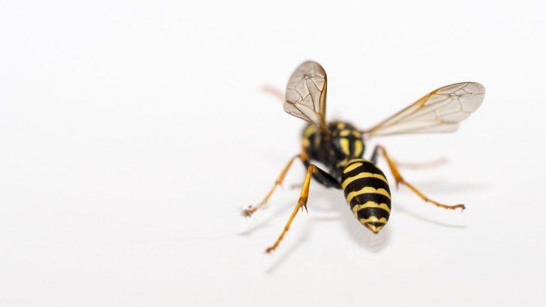 Close Nature Insect Wasp Macro Animals