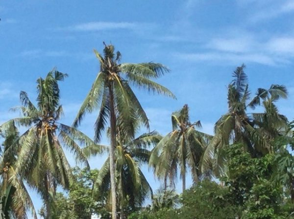Distinctive coconut tree damage, approximately 6–8 months old, Tenaru, Guadalcanal (Credit: Bob Macfarlane)