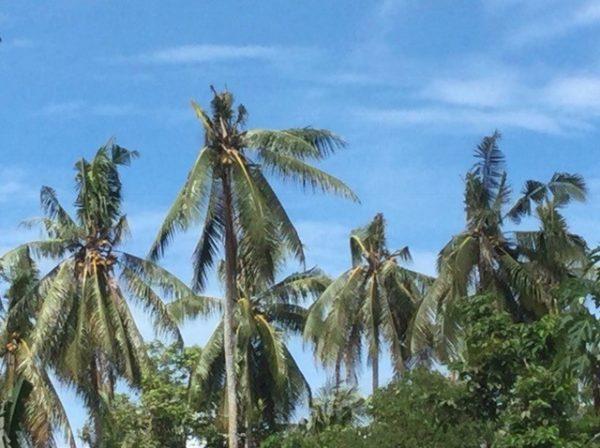Distinctive coconut tree damage, approximately 6–8 months old, Tenaru, Guadalcanal (Credit: Bob Macfarlane)