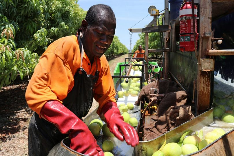 Seasonal Worker Programme participant (Credit DFAT Flickr CC BY 2.0)