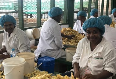 Employees preparing ginger for processing at the Kaiming Agro Processing facility in Fiji (Credit: PTI Australia)
