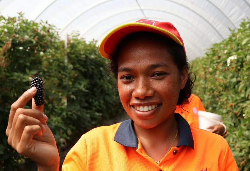 A seasonal worker from Timor-Leste picks berries in Australia (Department of Foreign Affairs and Trade/Flickr CC BY 2.0)