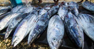 Tuna for sale at Auki market, Malaita Province, Solomon Islands (Filip Milovac/WorldFish/Flickr CC BY-NC-ND 2.0)
