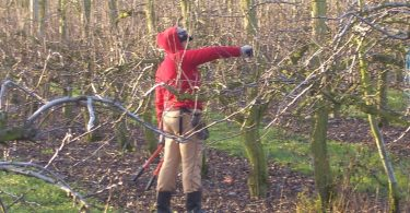 RSE worker from Tonga pruning trees.