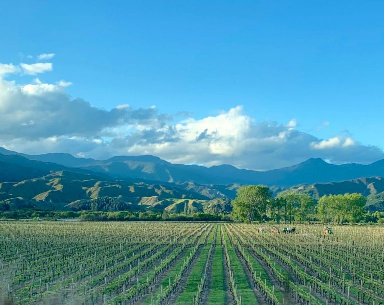 Vineyard in the Wairau Valley, Marlborough, October 2020