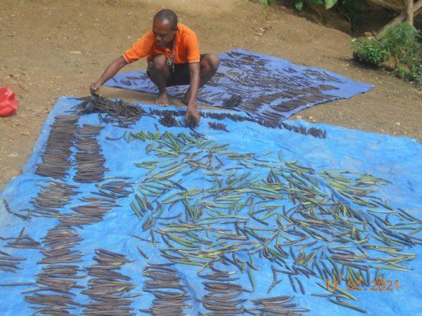 Drying vanilla beans (Desmond Narongou)