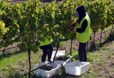 Two people hand harvesting grapes at Granton Vineyard in Tasmania